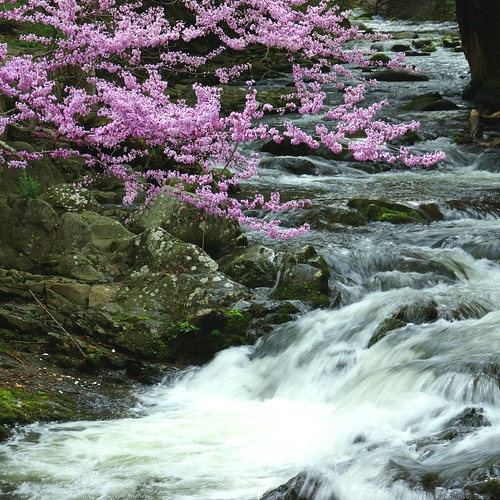 trip mountain nature water countryside tn blossom ngc npc gatlinburg easternredbud naturesfinest concordians sony350 awesomeblossoms blinkagain
