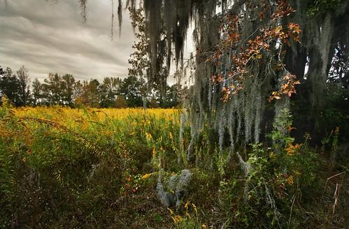 autumn trees tree fall nature rural landscape weeds louisiana seasons goldenrod pasture spanishmoss thesouth 10mm canonefs1022mmf3545usm mrgreenjeans gaylon canonautumn alongpeairsroad gaylonkeeling