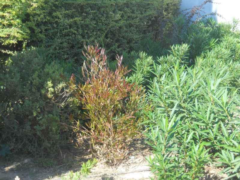 Adelfa y otros arbustos mediterráneos