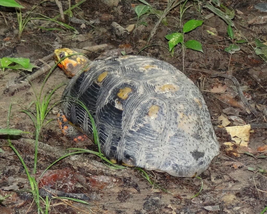 Morrocoy Sabanero [Yellow-footed Tortoise] (Geochelone carbonaria)
