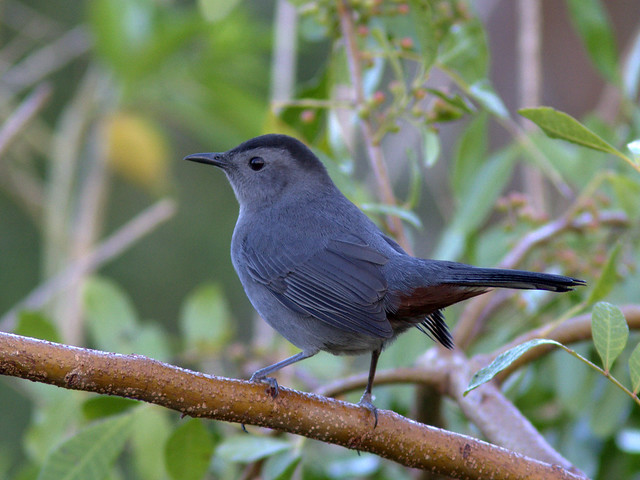 Gray Catbird 20111108