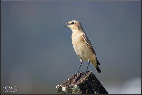 lebanon bird canon eos dof post zoom bokeh pennsylvania depthoffield pa telephoto 5d northern rare markii rarity wheatear 100400 lickdale