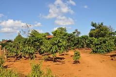 Plantes de cafè (pels urbanites que no les heu vist mai ;))