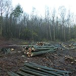Coppicing at Hendall wood