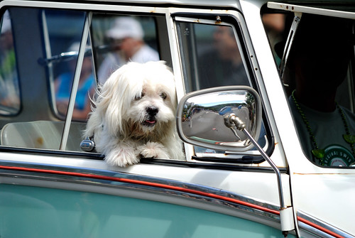 Waikiki St. Patricks Day Parade - Cute dog | by jdnx