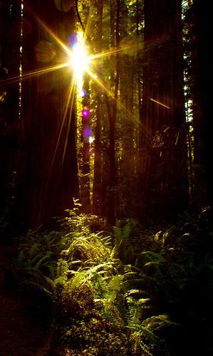 california park travel trees light summer sun sunlight black fern color nature silhouette forest landscape nationalpark flora hiking september adapter m42 flare canon350d flektogon redwood 20mm stoutgrove sequoia 2011 carlzeissjena 2820mm jedidiahsmith