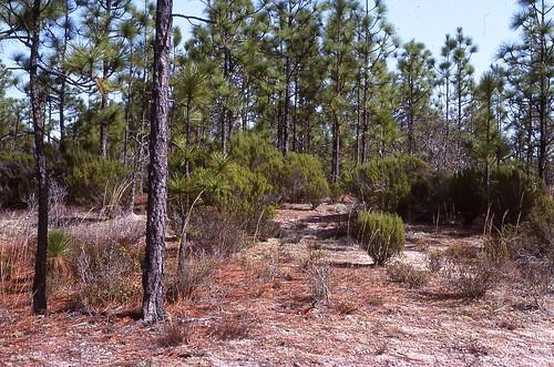 pine kiefer landscape pinus ceratiola empetraceae pinaceae forest xeric sandstone sc carolina southcarolina fortjackson woods shrub groundcover bush sandhills abajo usc