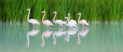 Flamingo Conga Line (Cayo Coco) | by nancy_gb