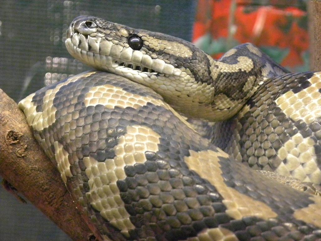 Carpet Python (Morelia spilota) | magdalena_b | Flickr