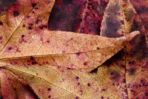 Found Leaves | by dave.steinberg