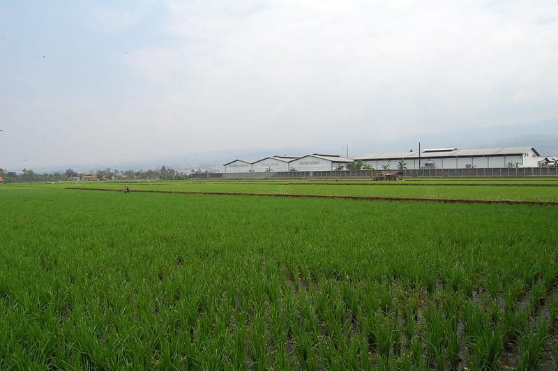 Urban Paddy Field