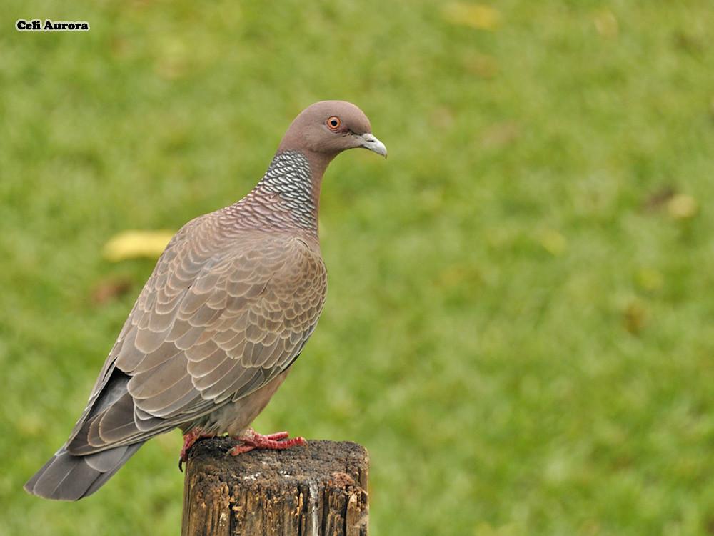 "Asa-branca ( Pombão ) ""  Patagioenas picazuro "" -  Picazuro Pigeon - DSC0232"