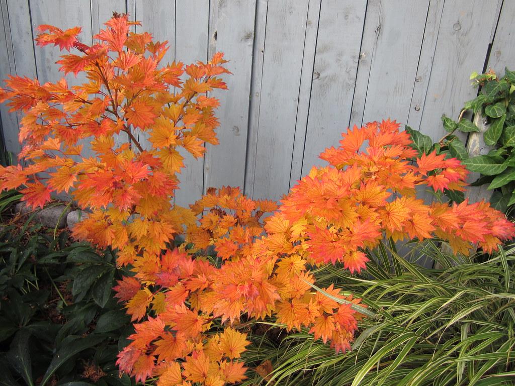 Acer Shirasawanum Aureum Barry Parker Flickr