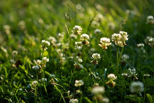 White Dutch Clover in the Lawn | by Chiot's Run