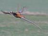 Reeves's Pheasant, Great Cressingham (Norfolk), 17-Mar-12 by Dave Appleton