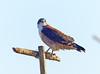 Águila Andina, Variable Hawk (Buteo polyosoma) by Francisco Piedrahita
