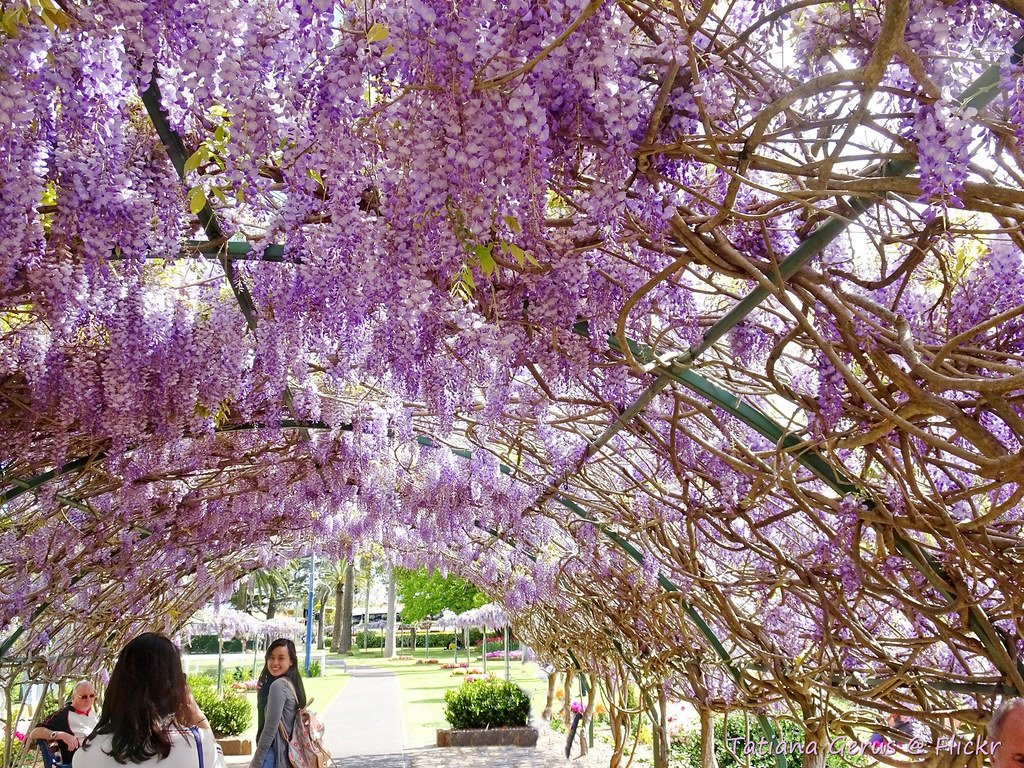 In Wisteria Tunnel Every Year In September Toowoomba Town Flickr