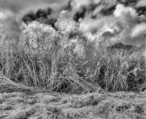blackandwhite analog mediumformat florida scenic 120film fineartphotography mamiyarb67 infraredfilm ilfordsfx200 manfrotto190xprob handheldlightmeter mamiyasekor50mmc lakeapopkanorthshore gossensuperpilot 496rc2ballhead sammysantiago lakeapopkawildlifedrive