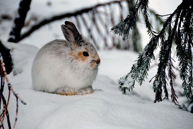 Juvenile Bunny in Winter, Mt Baker Snoqualmie National Forest