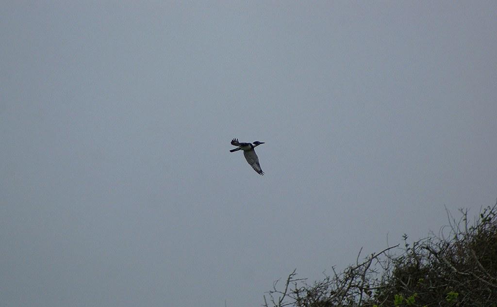 Belted Kingfisher Aransas NWR