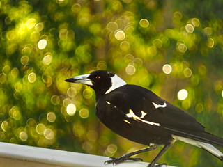 Magpie feeding time_c | by gnarlydog