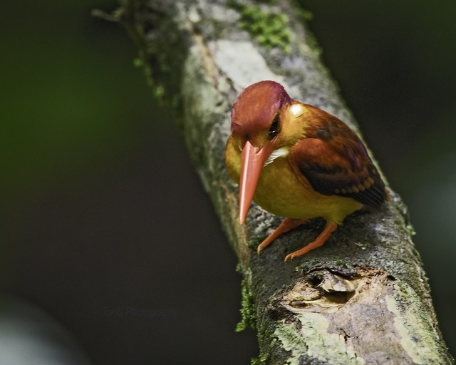 Rufous backed kingfisher