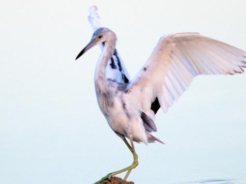 Little Blue Heron immature 07-20170322