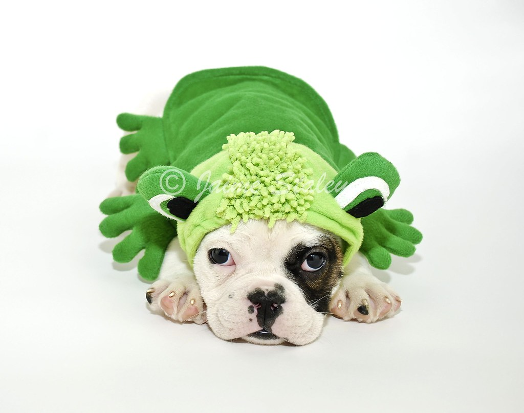 Bulldog Puppy in a Frog Outfit.