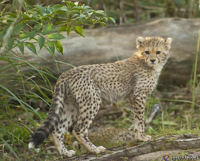 Cheetah Cub 21/10/2011