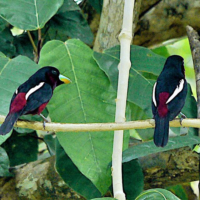 Black & Red Broadbill