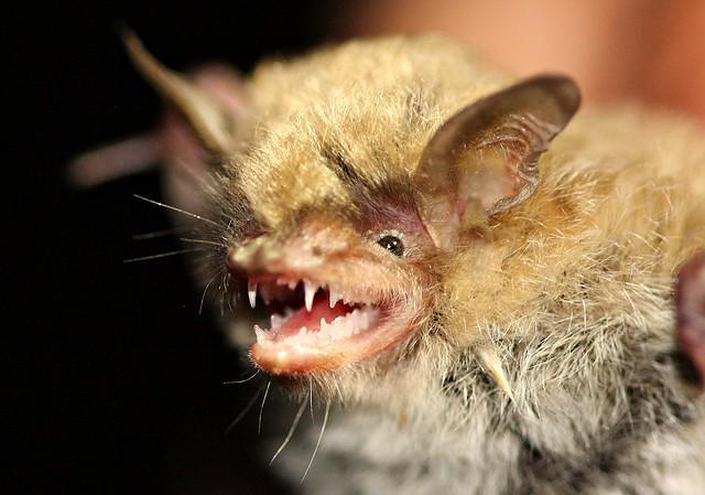 Yuma Myotis Bat (Myotis yumanensis)