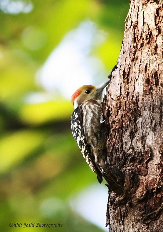 Yellow Fronted Pied Woodpecker Marathi Name मर ठ स त र Flickr