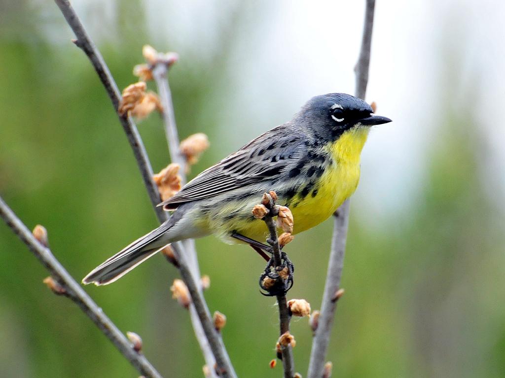 Image result for kirtland's warbler
