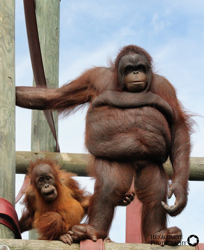 Monkey World Baby Orangutan Silvestre and Nurse Oshine   by Hexagoneye Photography