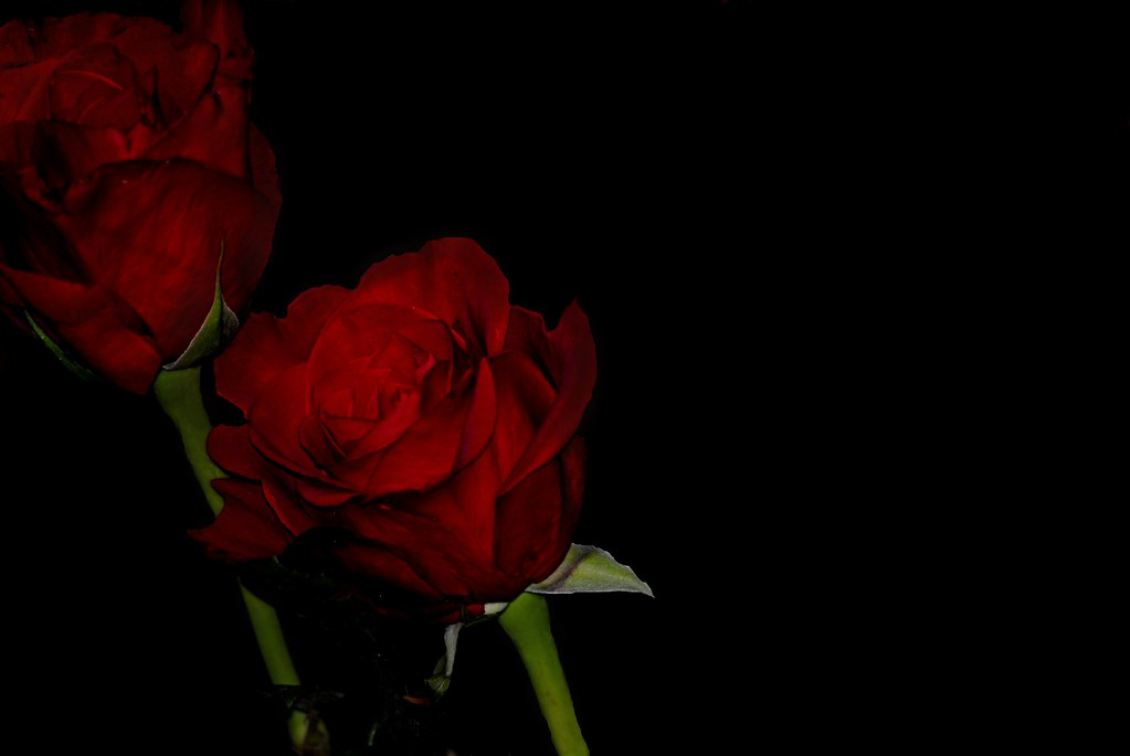 Black Background Roses My Attempt At Black Background