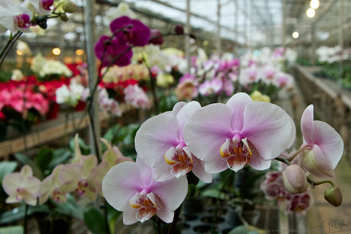 Shopping for Orchids 7 | by H. Michael Miley