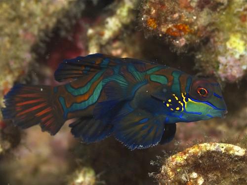 Mandarinfish   by Elias Levy