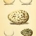 Eggs of North American birds