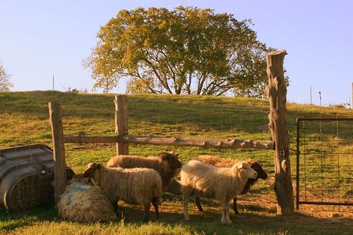 tn sheep farm tennessee smyrna agritourism rutherfordcounty waldenfarm bmok bmok2
