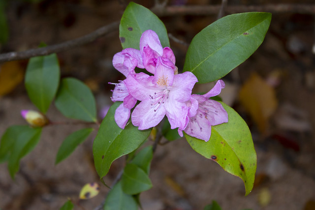 Rhododendron maximum, Providence Canyon State Park, Stewart County, Georgia