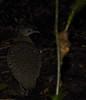 White-throated Tinamou (Tinamus guttatus) by Simon Valdez-Juarez