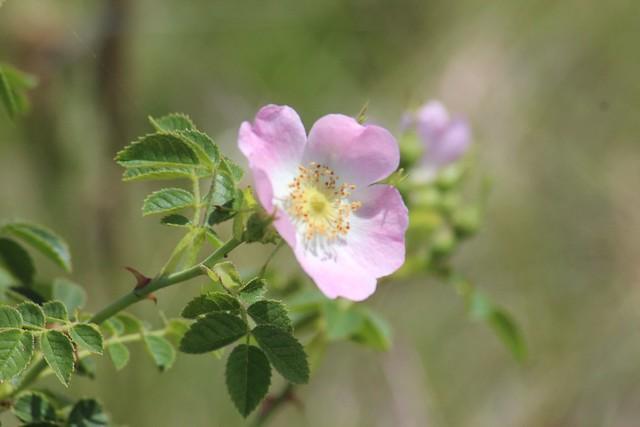 Rose at Bababi Djinanang native grassland Fawkner