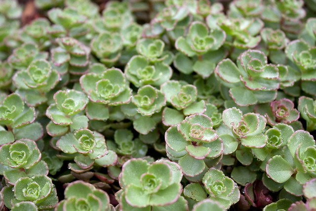 Sedum spurium 'Red Carpet'