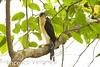 Collared Forest-Falcon - Cerro Blanco - South-Ecuador_S4E7731 by fveronesi1