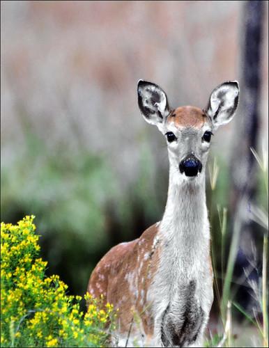 outdoors florida deer fawn panamacitybeach standrewsstatepark specanimal floridastateparks nikond3100 nikkor70300afsvrlens