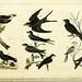 Wilson's American ornithology