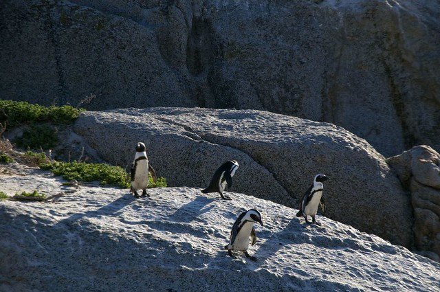Penguins, Cape Town