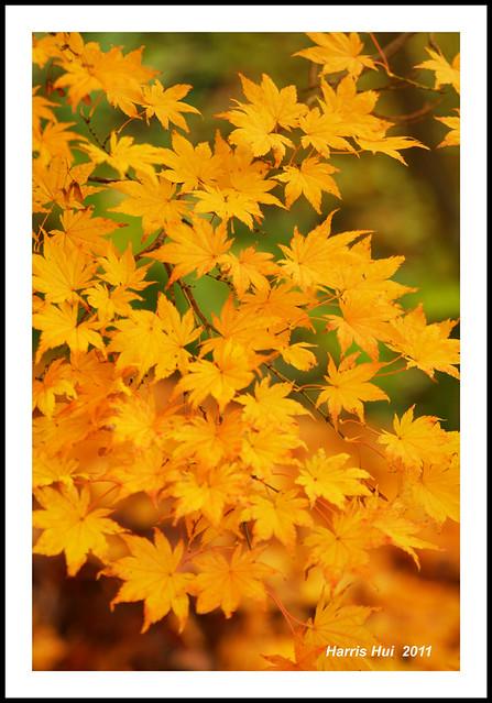 Your Autumn Gold - Van Dusen Garden 8317e