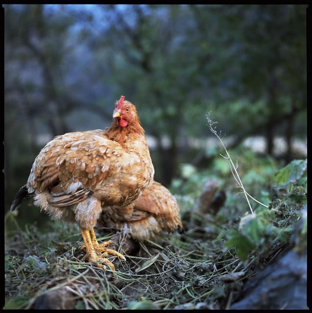chicken scratch fever