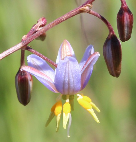 Closeup - Matted Flax-lily (Dianella amoena) at Bababi Djinanang native grassland Fawkner